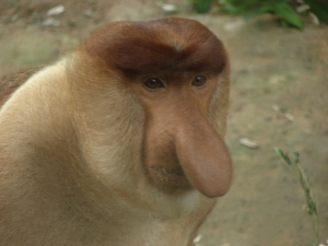 probiscious-monkey.jpg.644x0_q100_crop-smart