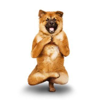 6f849e98f4de649aab827e240fee2c7c--chow-chow-yoga-dog