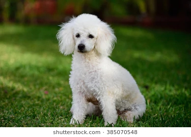 french-white-poodle-sit-on-260nw-385070548