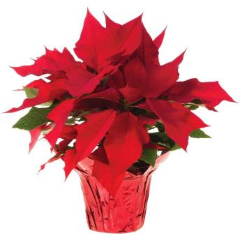 poinsettias-10026-64_1000