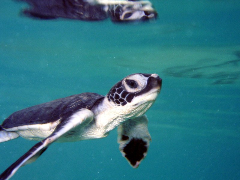 green-sea-turtle-msullivan-noaa_permit1013707.jpg__800x600_q85_crop_subject_location-400,301_subsampling-2_upscale