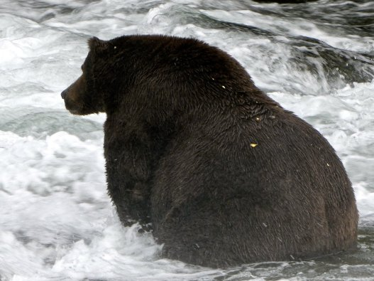 fat-bear-2-314660d8da0893498e2ac5bfa260e2a6bd9e36f7-s1500-c85